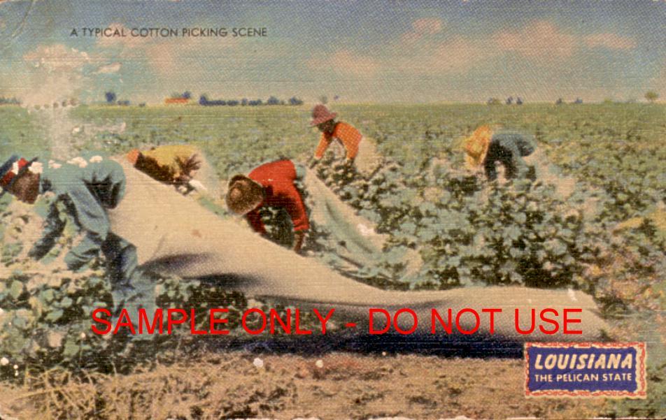 Cotton Picking scene